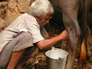 Milking the water buffalo... sweet, sweet water buffalo