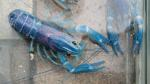 This is a blue crawfish. What more do you want from me?